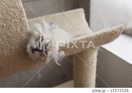 昼寝をする猫 13572526