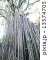 絞め殺しのイチジクの木 13574705