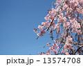 桜 13574708