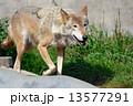 おおかみ オオカミ 狼の写真 13577291