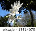 スイセン 白色 花の写真 13614075