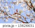 ヤマザクラの花 13626631
