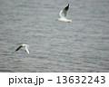 ユリカモメ 児島湖 飛翔の写真 13632243