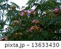 合歓の木 ねむの木 ネムノキの写真 13633430