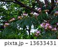 合歓の木 ねむの木 ネムノキの写真 13633431