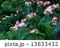 合歓の木 ねむの木 ネムノキの写真 13633432