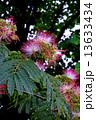 合歓の木 ねむの木 ネムノキの写真 13633434