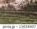 岡崎桜回廊 13638907
