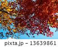 紅葉 13639861