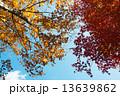 紅葉 13639862