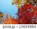 紅葉 13639864