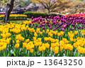花畑 満開 チューリップの写真 13643250