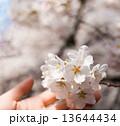 桜 13644434
