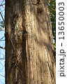 幹 木 樹木の写真 13650003