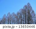 木 樹木 メタセコイアの写真 13650446