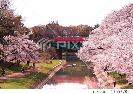 岡崎公園に咲く桜 13652700