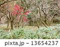 もみじ 木 紅葉の写真 13654237