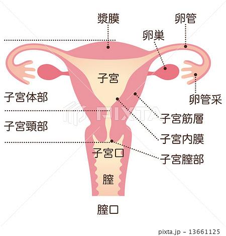 子宮 女性のからだのイラスト素材