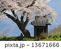 小沢の桜 桜 祠の写真 13671666