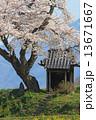 小沢の桜 桜 祠の写真 13671667