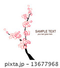 桜 13677968