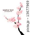 桜 13677969