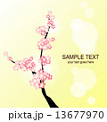 桜 13677970