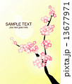 桜 13677971