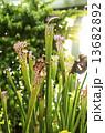食虫植物 13682892