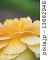 黄色いバラの花びら 13682948