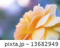 黄色いバラの花びら 13682949