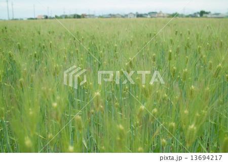 春の麦畑 13694217