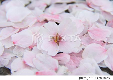 桜 13701025
