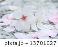桜 13701027