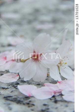 桜 13701028