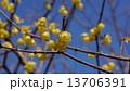 ロウバイ 春の花 13706391