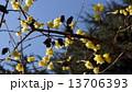 ロウバイ 春の花 13706393
