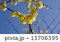 ロウバイ 春の花 13706395