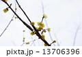 ロウバイ 春の花 13706396