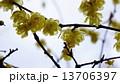 ロウバイ 春の花 13706397
