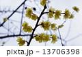 ロウバイ 春の花 13706398