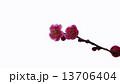 開花し始めた梅の花 春の花 13706404