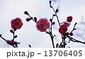 開花し始めた梅の花 春の花 13706405