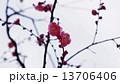 開花し始めた梅の花 春の花 13706406