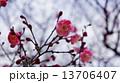 開花し始めた梅の花 春の花 13706407