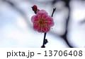 開花し始めた梅の花 春の花 13706408