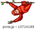Orangutan 13714189
