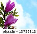 シモクレン モクレン 花の写真 13722313