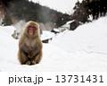 雪景色の猿 13731431