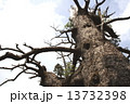 白骨樹(枯存木) 13732398